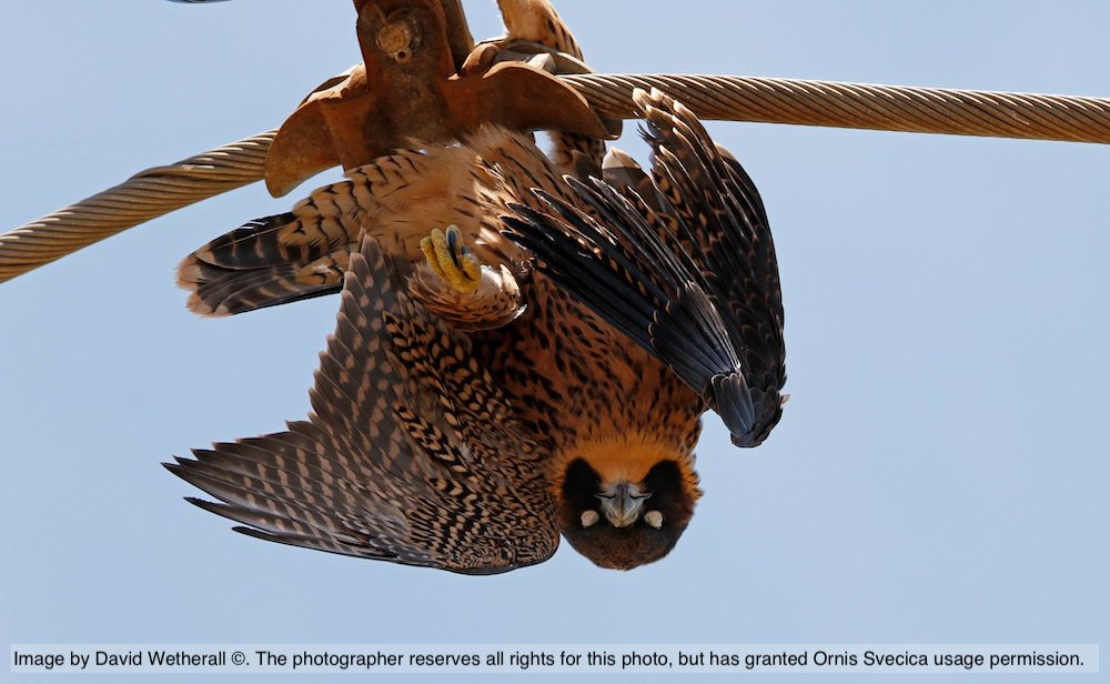 Electrocuted Peregrine Falcon (photo by David Wetherall)